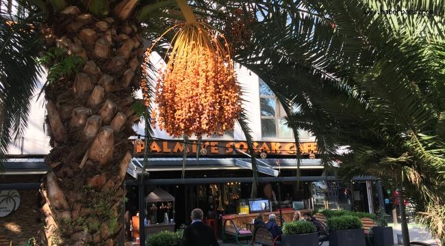 Palmiye Ağacı Özellikleri Nelerdir?...